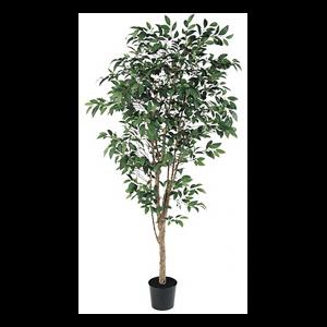 A-50774 ファイカスツリー0
